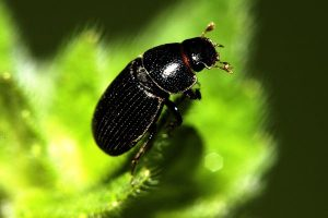 dung-beetle-aphodius-climate-environment_71256_600x450