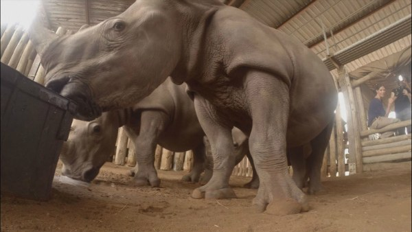 photo2_baby_rhinos_susanscott